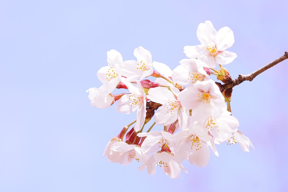 【撮影会レポート】桜の撮影会に行ってきました!
