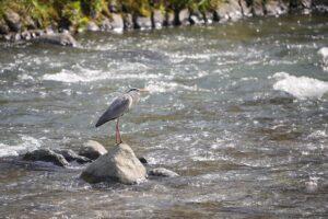 【レポート】α1でぜひとも試したかった「鳥瞳AF」を使って野鳥を撮影してみた